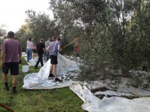 Olive-picking-2