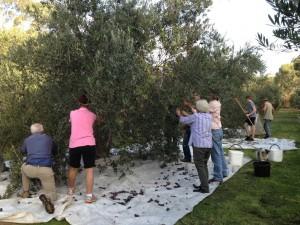 Olive-picking